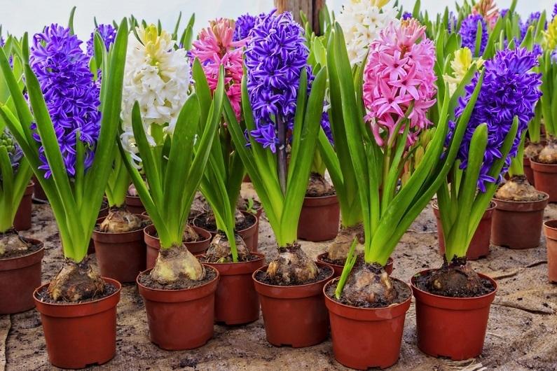 Цветы гиацинт посадка и уход в домашних условиях