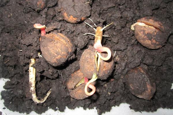 Грунт для посадки грецкого ореха