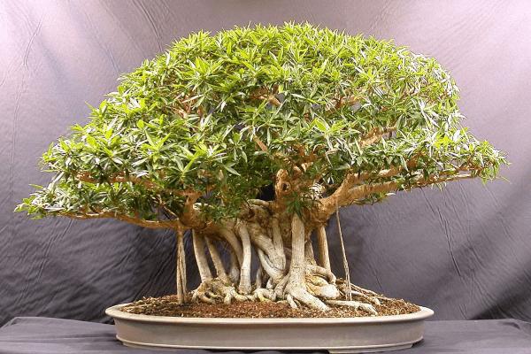 Как вырастить бонсай из дуба