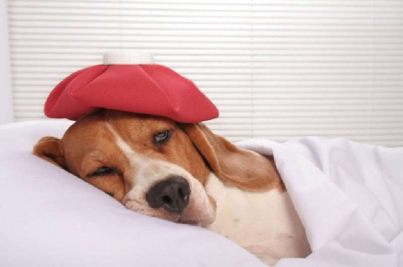 Чем вылечить собаку от глистов в домашних условиях