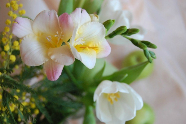 Цветок фрезия - посадка и уход