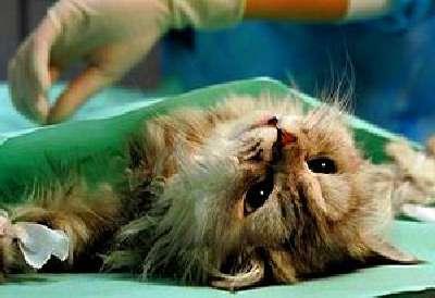 Пиометра у кошек и ее лечение