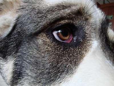 Конъюнктивит у собак и его лечение
