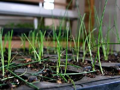 Советы по выращиванию лука порей