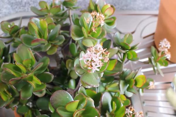 Цветок денежное дерево: как ухаживать в домашних условиях