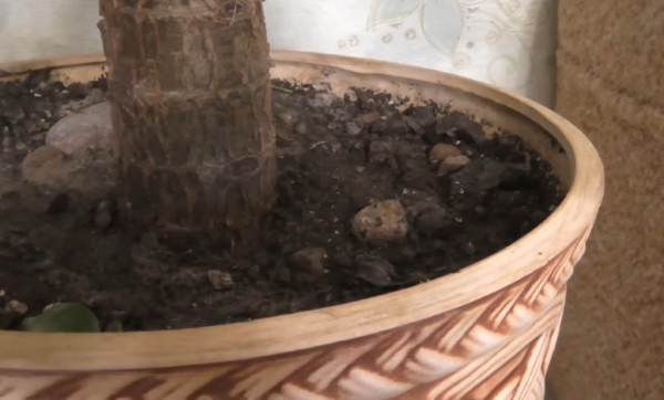 Почва для денежного дерева